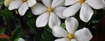 Gardenii  - ingrijire