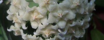 Hoya Celata sau hoya Pubicalyx White Dragon  -  cu parfum de garoafa
