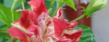 Hibiscus Baptistii - cerinte pentru pastrarea bobocilor si deschiderea florilor