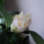 boboc de camellia