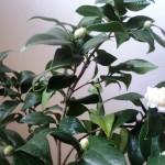 camellia plina de boboci