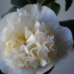 Diafana si romantica floare de Camellia