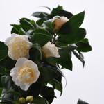 camellia japonica-16 ianurie 2016