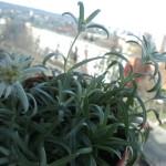 floarea de colt  -- februarie2014