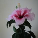 cand se deschid florile, petalele sunt usor pliate