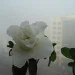 azalee alba --ianuarie