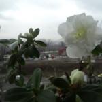 azalee alba