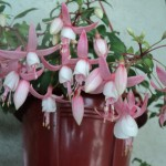 fuchsia pletoasa cu flori diafane