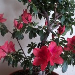 azalee rosie