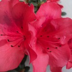 flori de azalee