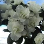 saptamani la rand inflorita fara o floare ofilita