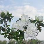 azalea alba-iulie2016
