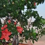 flori si boboci de azalee rosie