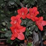 flori de azalee rosie