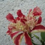 hibiscus Baptistii primit asta vara
