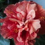 prima floare